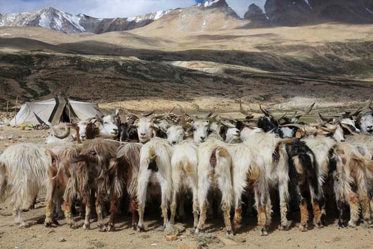 パシュミナ種の山羊や羊、そしてヤクなどを放牧しながらの生活
